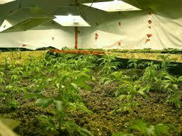 Indoor Cannabis Farm